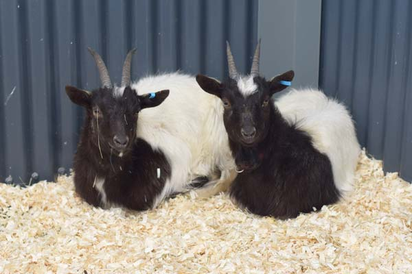 Three Extremely Rare Goats Arrive at Animal Management Centre