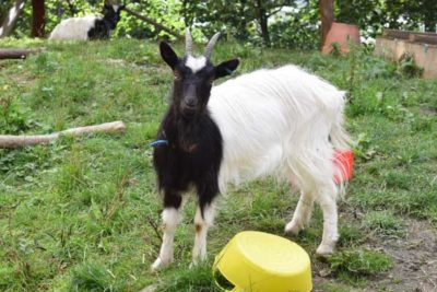 WEB Bagot Goat 3 400x267 - Meet The College's Newest Residents