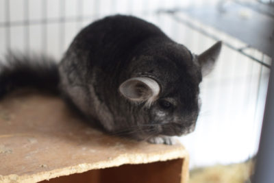 WEB Chinchilla 1 400x267 - Meet The College's Newest Residents