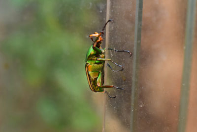 WEB Green Flower Beetle 3 400x267 - Meet The College's Newest Residents