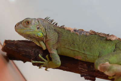 WEB Iguana 2 400x267 - Meet The College's Newest Residents