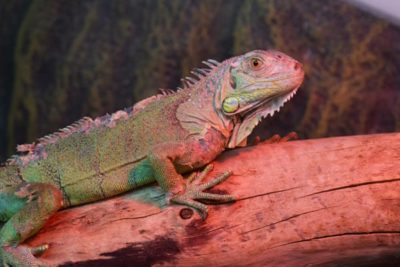 WEB Iguana 3 400x267 - Meet The College's Newest Residents