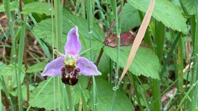 dd332f0b b25d 4282 b114 b1ef2445cab8 400x225 - Bee Orchid Blossoms on College Campus alt